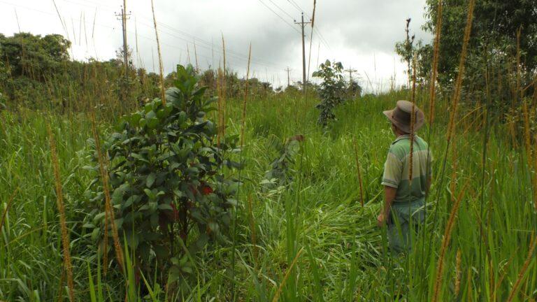 Das Weidegras droht, die jungen Bäume zu überwuchern
