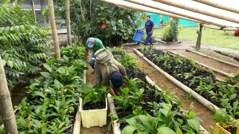Die Setzlinge werden in lokalen Baumschulen vorgezogen