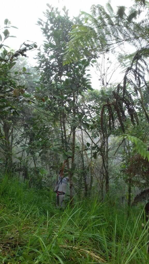 Matapalo_gepflanzt2016_850cm